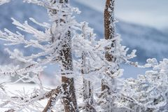 Close-up fir trees or pine trees covered by snow on the backgrou Stock Photo