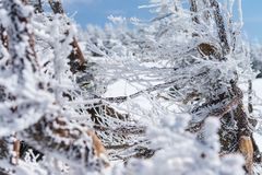 Close-up fir trees or pine trees covered by snow on the backgrou Stock Image