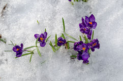 Close up first spring violet crocuses on snow Stock Photo