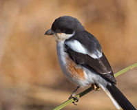 Close up of Fiscal Shrike Stock Images