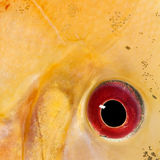 Close-up on a fish eye Royalty Free Stock Photo