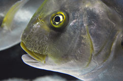 Close up of fish face. With yellow eye and mouth Royalty Free Stock Photography