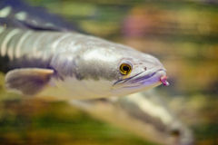 Close-up fish Great snakehead. Royalty Free Stock Images