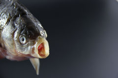 Close-up fish Royalty Free Stock Photo