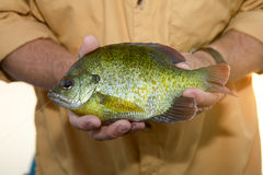 Close up of fisherman holding an alive Bluegill. A close up of a fisherman holding a freshly caught, alive Bluegill pan fish in his hands Stock Photos