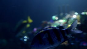 Close up on fishes and treasure in sea. Shots of fishes swimming in aquarium stock footage