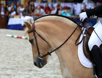 Close up of a fjord horse on a dressage event Stock Photo