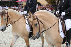 Close up of a fjord horses on a dressage event Royalty Free Stock Photo