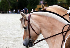 Close up of a fjord horses on a dressage event Royalty Free Stock Images