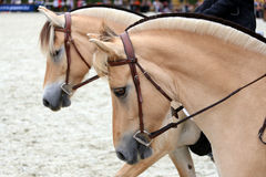 Close up of a fjord horses on a dressage event Stock Photography
