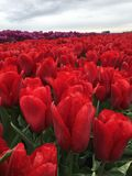 Close up of flaming red tulips. Close up of flaming red tulip blooms in sunny field Royalty Free Stock Photos