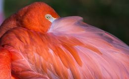 Close up of Flamingo eye. Close up shot of a pink Flamingo with eye open Stock Photo