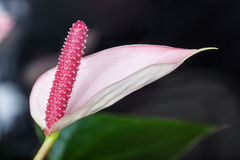 Close up of Flamingo flower Royalty Free Stock Photo