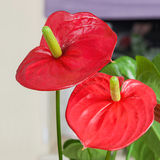 Close up of Flamingo flower Stock Images