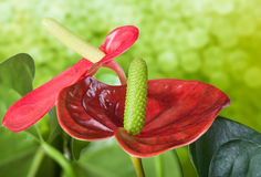 Close up of Flamingo flower Stock Photography