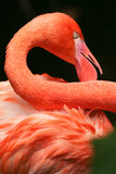 Close up of a flamingo neck and feathers Royalty Free Stock Photography
