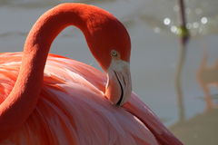 Close up of a Flamingo (Side view). This picture shows you a close up of a Flamingo's head from a side view. You can clearly see its eyes and beak stock photos