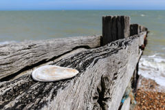 Close up of a flat shell on a weather groyne. On a stoney beach in England Stock Image