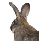 Close-up of Flemish Giant rabbit. In front of white background Royalty Free Stock Photo