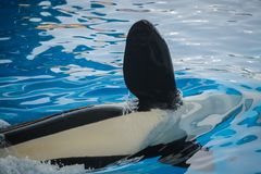 Flipper of a killer whale. Close up of a flipper of an orca, a killer whale royalty free stock images