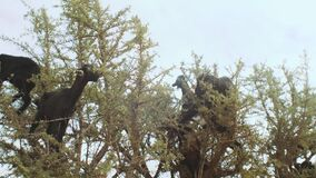 Close-up of flock of black goats in an argan tree eating the argan nuts, Tree Climbing Goats In Morocco, A group of