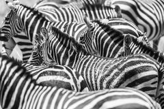 Close up of a flock with black and white zebras Stock Photography