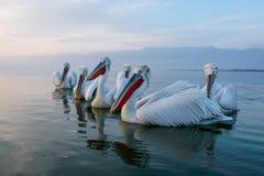 Close up of flock of dalmatian pelicans. Portrait of flock of  dalmatian pelicans on lake Kerkini in Greece Stock Photos