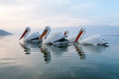 Close up of flock of dalmatian pelicans. Portrait of flock of  dalmatian pelicans on lake Kerkini in Greece Stock Photo