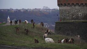 Close-up of a flock of goats grazing on a hill. On a background of the city stock footage