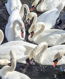 Close-up of a flock of swans in the river Alster Royalty Free Stock Photography