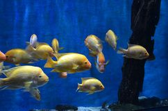 Close up of a flock of yellow sea fish with shiny scales and high forehead swim in an aquarium on a blue background stock photo
