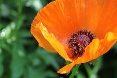 Close-up Flor vermelha da papoila Foto de Stock Royalty Free