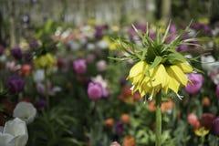 Close up floral holandês da cor Fotografia de Stock