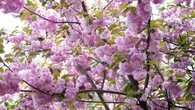 Close-up, flores de cerejeira Flores cor-de-rosa bonitas, delicadas na árvore sakura de florescência, video estoque