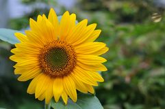 Flower head of a sunflower royalty free stock image