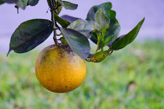 The close-up of florida orange hanging on the vine Royalty Free Stock Photography