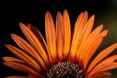 African daisy with orange petals. Close up of the flower, african daisy, with orange petals , half of the flower only royalty free stock images