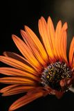 African daisy with orange petals. Close up of the flower, african daisy, with orange petals , half of the flower only royalty free stock photography
