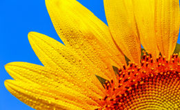 Close up flower. Beautiful sunflowers in the field Royalty Free Stock Photos