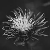 Close up flower in black and white Stock Images