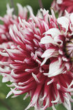 Close-up of flower blossom. Close-up of dark pink and white blossom of flower Stock Image