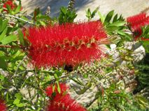 A close up of a flower in a bottle bush tree Royalty Free Stock Photos