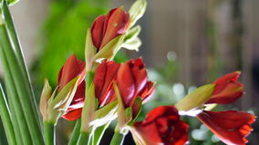 Close-up, Flower bouquet in the rays of light, rotation, consists of Amaryllis white, Amaryllis ferrari. in the stock footage