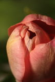 A flower-bud of a tulip Stock Photography
