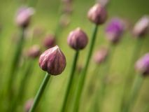Close Up Of The Flower Buds Of Chives royalty free stock image