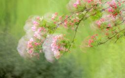 Dreamy spring. The close-up of flower and buds of Malus micromalus Royalty Free Stock Image