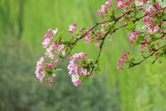 Malus micromalus. The close-up of flower and buds of Malus micromalus Stock Images