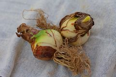 A close-up photo of two premium quality Amaryllis Hippeastrum bulbs, ready to be planted. royalty free stock photo