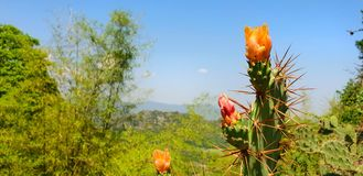 Close up flower of cactus on blue sky and mountain background. royalty free stock photography