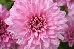 Close up of flower dahlia for background Stock Photography